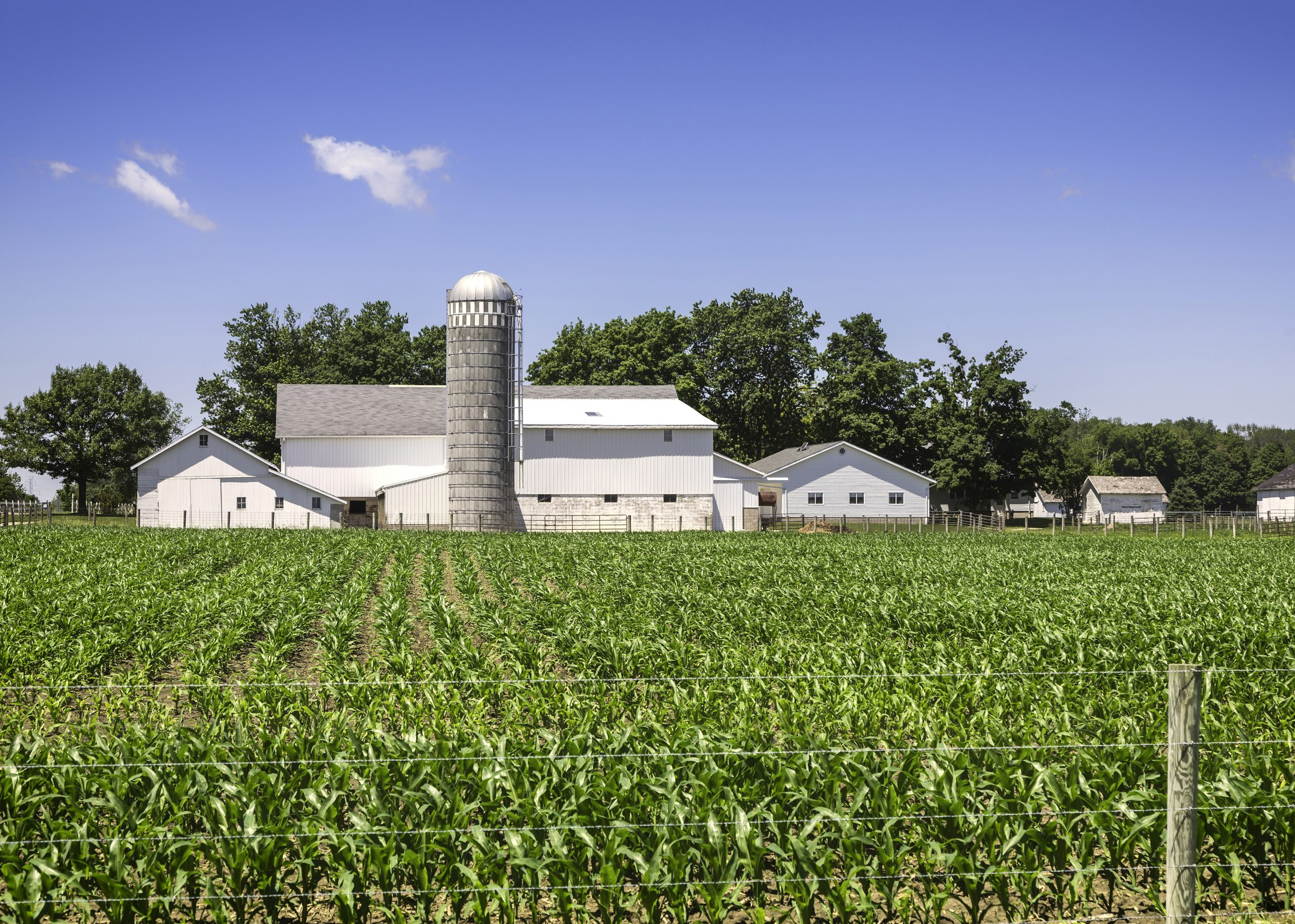 Image of a white barn behind a field of immature corn. Link takes you to the Bank of Versailles Agricultural Loans page.
